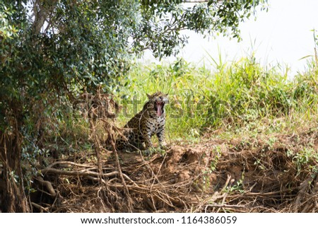 Jaguar on riverbank from Pantanal, Brazil. Wild brazilian feline. Nature and wildlife #1164386059