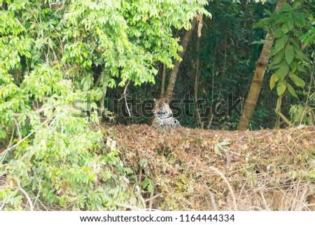 Jaguar on riverbank from Pantanal, Brazil. Wild brazilian feline. Nature and wildlife #1164444334