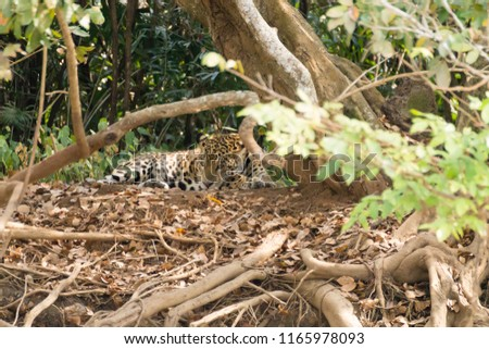 Jaguar on riverbank from Pantanal, Brazil. Wild brazilian feline. Nature and wildlife #1165978093