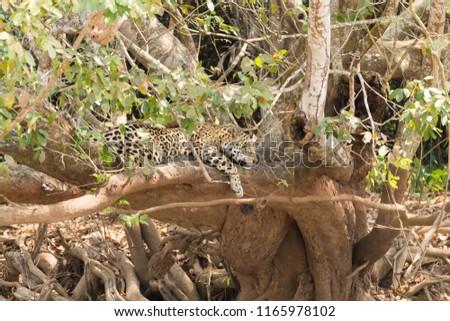 Jaguar on riverbank from Pantanal, Brazil. Wild brazilian feline. Nature and wildlife #1165978102