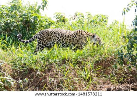 Jaguar on riverbank from Pantanal, Brazil. Wild brazilian feline. Nature and wildlife #1481578211