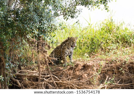 Jaguar on riverbank from Pantanal, Brazil. Wild brazilian feline. Nature and wildlife #1536754178