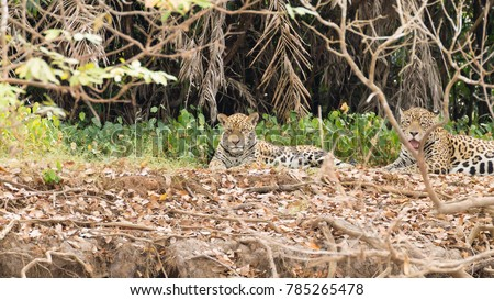 Shutterstock Jaguar on riverbank from Pantanal, Brazil. Wild brazilian feline. Nature and wildlife