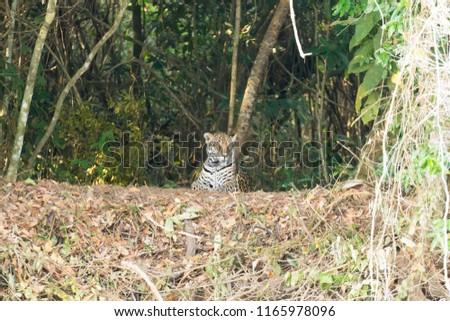Jaguar on riverbank from Pantanal, Brazil. Wild brazilian feline. Nature and wildlife. Panthera onca #1165978096