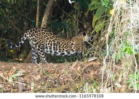 Jaguar on riverbank from Pantanal, Brazil. Wild brazilian feline. Nature and wildlife. Panthera onca #1165978108