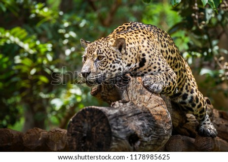 Jaguar on the timber in natural forests. #1178985625