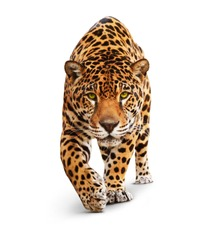 Jaguar, Panther, front view, isolated on white, shadow. The same over black - image id: 89436664