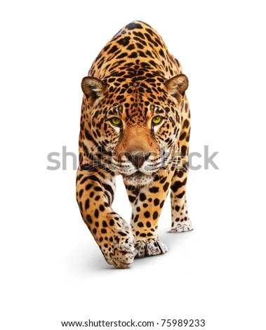 Jaguar, Panther, front view, isolated on white, shadow. The same over black - image id: 89436664 - stock photo