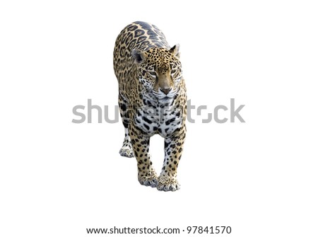 Jaguar, Panther, front view on white
