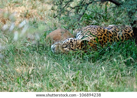 Jaguar (Panthera Onca) at a Lion Park in South Africa