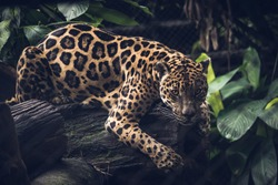 Jaguar, Panthera Onca. beautiful rosettes that serve as camouflage when hunting.