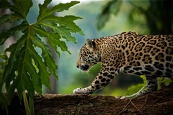 Jaguar (Panthera onca), Belize
