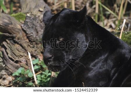 Jaguar (Panthera onca) black, tropical rainforest
