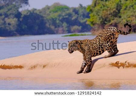 Jaguar, Panthera Onca, Female, Cuiaba River, Porto Jofre, Pantanal Matogrossense, Mato Grosso do Sul, Brazil South America #1291824142