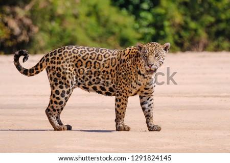 Jaguar, Panthera Onca, Female, Cuiaba River, Porto Jofre, Pantanal Matogrossense, Mato Grosso do Sul, Brazil South America #1291824145