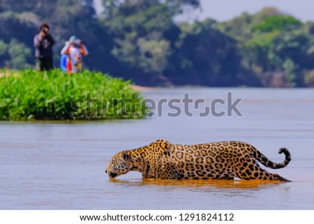 Jaguar, Panthera Onca, Female, observed by unrecognizable tourists crossing Cuiaba River, Pantanal, Mato Grosso do Sul, Brazil, South America #1291824112