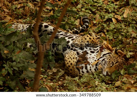 Jaguar, Panthera onca in Chiapas, Mexico #349788509