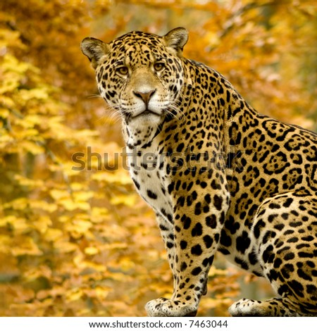 Jaguar - Panthera onca in front of a white background