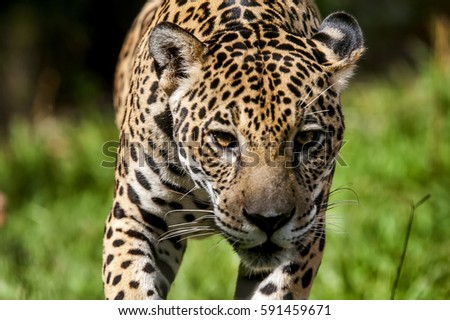 Jaguar (Panthera onca), photographed in Espi­rito Santo, Brazil. Atlantic Forest Biome. Captive animal. #591459671