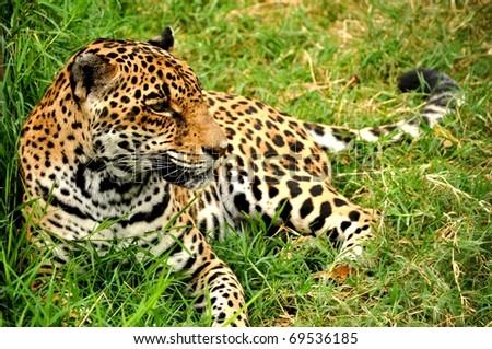 Jaguar (Panthera Onca) resting