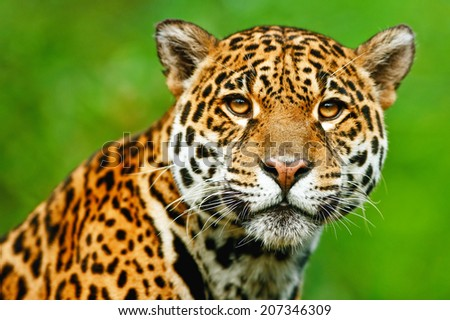 Jaguar - Panthera onca. The jaguar is the third-largest feline after the tiger and the lion, and the largest in the Western Hemisphere.  #207346309