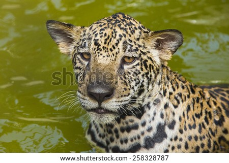Jaguar portrait #258328787
