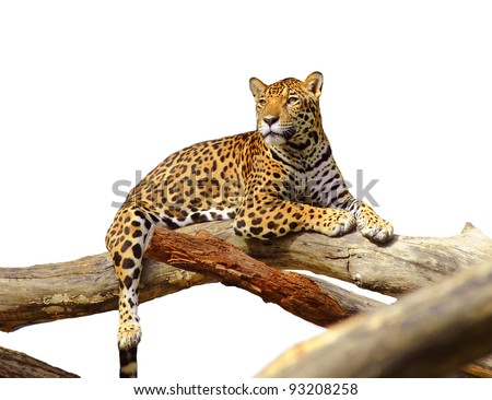 jaguar tiger cat isolated on white