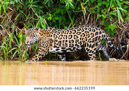 Jaguar  walking in jungle river #662235199