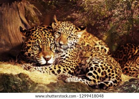 Jaguar wild cat animal Stock Images #1299418048
