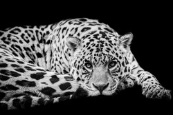 Jaguar with a black Background in B&W