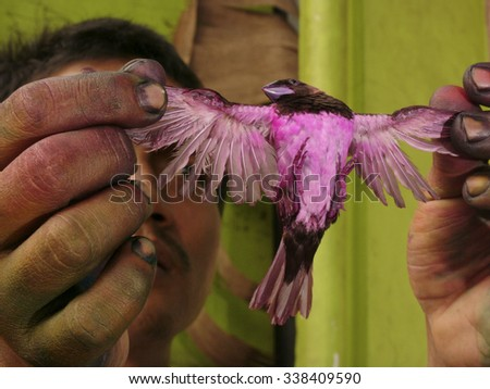 JAKARTA, INDONESIA - MAY 31, 2008: An unidentified bird trader displays a captured Javanese Munia finch that he has stained with pink industrial dye on May 31, 2008 in Jakarta, Java, Indonesia.