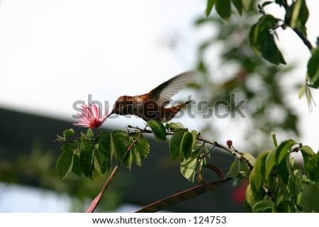 Jamaican Mango Hummingbird feeding - stock photo