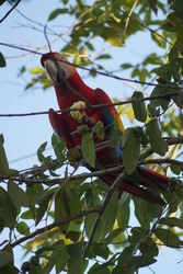 Jamaican Red Mccaw in a tropical almond tree eating, Costa Rica