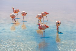James flamingo (Phoenicoparrus jamesi) in the Laguna Colorada (Red Lagoon), Eduardo Avaroa Andean Fauna nature reserve, Bolivia.