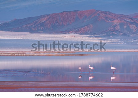 James's flamingo or Puna flamingo, Phoenicoparrus jamesi, in Carachi Pampa lagoon nearby El Penon village in The Puna grassland ecoregion of the Andes Mountains of  Argentina in South America, America Photo stock ©