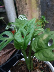 Janda bolong or Monstera adansonii itself is a member of the family araceae. As the name implies, the leaves on the widow bolong plant are hollows in the middle of the leaves.