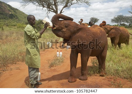 JANUARY 2005 - African Elephant keeper feeding milk to Adopted Baby African Elephants at the David Sheldrick Wildlife Trust in Tsavo national Park, Kenya
