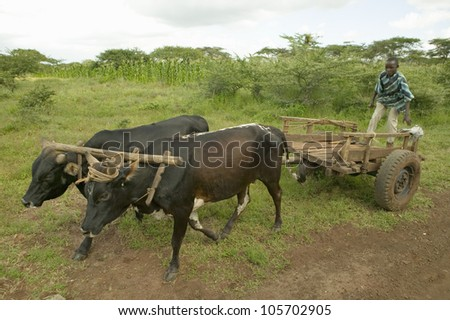 JANUARY 2007 - Boy rides on cart with ox at the Lewa Wildlife Conservancy, North Kenya, Africa