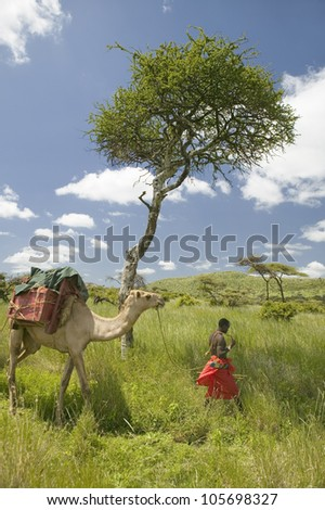 JANUARY 2007 - Camel safari with Masai warrior leading camel past Acacia tree and through green grasslands of Lewa Wildlife Conservancy, North Kenya, Africa