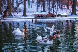 January 2021. Lake of beautiful birds. The family of geese walking in the light of lanterns