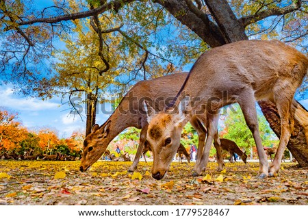 Japan. Nara Park. Two deer close-up. The deer lowered their heads to the ground. Animals walk in the Park of Nara. Deer in autumn Park. People communicate with animals.