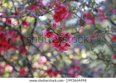 Japan quince (Chaenomeles japonica) in sunny day