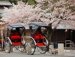 Japan ricksha with cherry blossoms tree