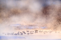 Japan winter nature. Wildlife scene, snowy nature. Bridge Cranes. Otowa winter Japan with snow. Birds in river with fog. Hokkaido, cold Japan. Red-crowned cranes in the water.