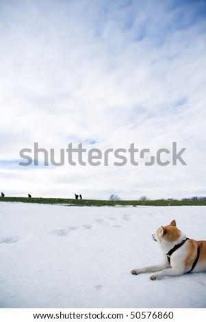 Japanese Akita dog looking after hiking people on early spring in mountains