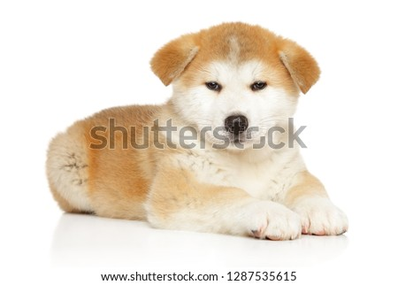 Japanese Akita inu puppy lying on white background. Baby animal theme