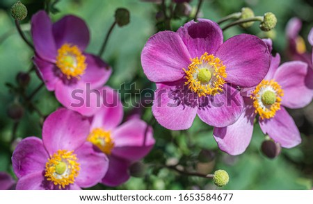 Japanese anemone (Anemone hupehensis) plants in flower. Pink garden plant in the family Ranunculaceae. Closeup on Japanese Anemone flowers Stockfoto ©