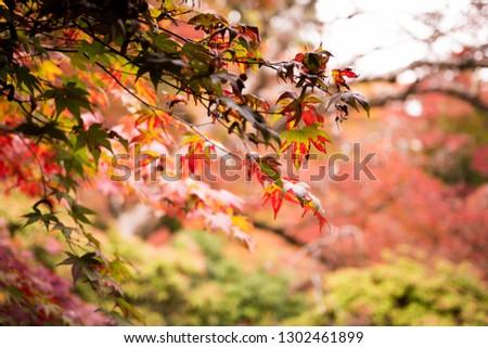 Japanese autumn leaves ストックフォト ©