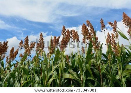 Japanese barnyard millet in autumn