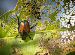 Japanese beetle eating leaf.